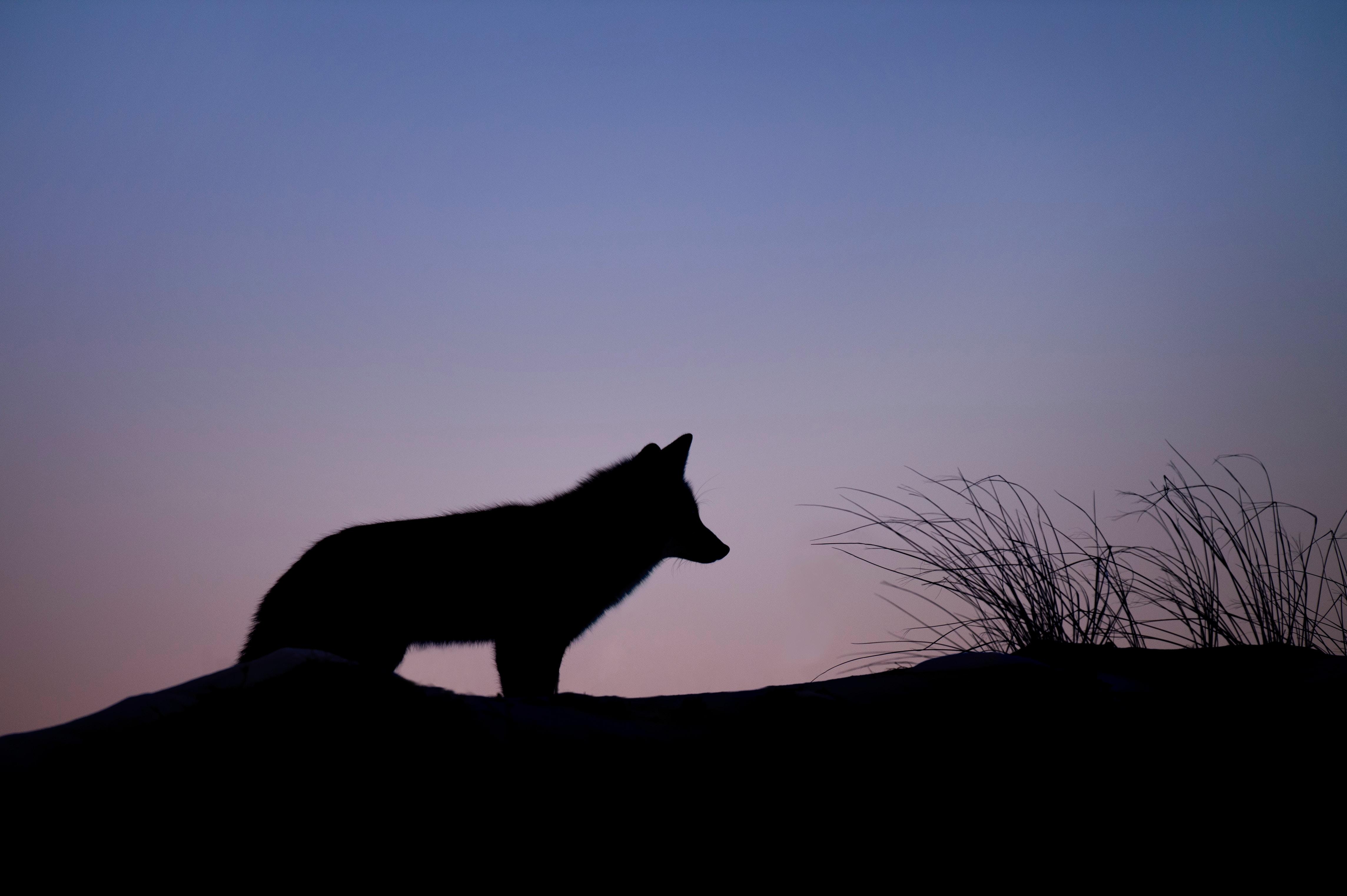 vaswolf